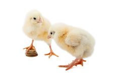 Newborn chicken and coins. On a white background Stock Photos