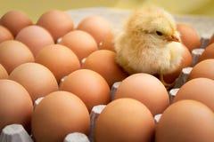 Newborn chicken on fresh eggs Royalty Free Stock Image