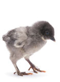Newborn chicken isolated Stock Images