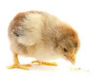 Newborn chicken isolated Stock Photo