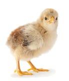 Newborn chicken Stock Image