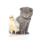 Newborn chicken and kitten looking at camera. isolated on white Stock Photo