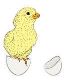 Newborn chicken Royalty Free Stock Photography