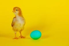 Newborn chicken with yellow egg Stock Image