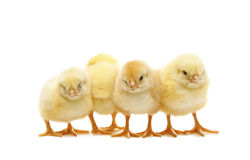 Newborn chickens. Four newborn chicken in line Stock Photos