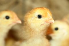 Newborn Chickens Stock Photo