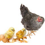 Newborn chickens and a hen Royalty Free Stock Images