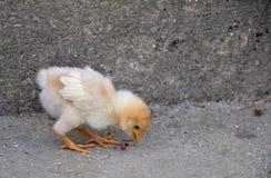 Newborn chickling in the chicken yard. Newborn chickling is feeding in the chicken yard Stock Photo