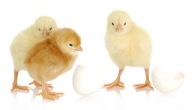 Newborn chicks Stock Image