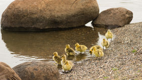 Newborn Chicks Columbia River Drink Eat Shoreline Wild Animals B Royalty Free Stock Images