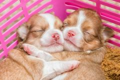 Newborn chihuahua puppy. In the basket Royalty Free Stock Images