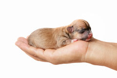 Newborn chihuahua puppy. In the caring hands Royalty Free Stock Photography
