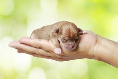 Newborn chihuahua puppy. In the caring hands Royalty Free Stock Photos