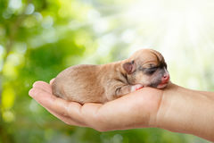 Newborn chihuahua puppy in the caring hands on green blurred bac. Kground and sunlight Stock Photography