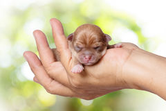 Newborn chihuahua puppy in the caring hands on green blurred bac. Kground and sunlight Royalty Free Stock Images