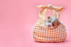 Chihuahua puppy sleeping in bag Stock Image