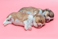 Newborn chihuahua puppy sleeping. Together Royalty Free Stock Photography
