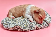 Newborn chihuahua puppy sleeping. On pink background Royalty Free Stock Photos