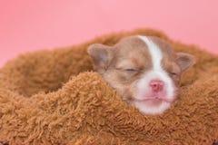 Chihuahua puppy sleeping Stock Photo