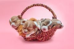 Chihuahua puppy sleeping together in the basket. Newborn chihuahua puppy sleeping together in the basket Stock Images