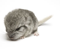 Newborn chinchilla Stock Photos