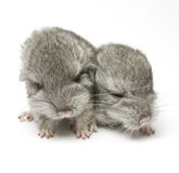 Newborn chinchillas Royalty Free Stock Photo