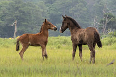 Newborn Chincoteague foals playing Royalty Free Stock Photography