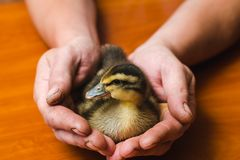 Newborn colored duck in the rough hands of the farmer royalty free stock photography