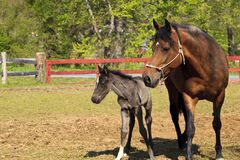 Paso Fino Mare Horse and Colt at a Farm. A newborn colt with it`s mom at a Paso Fino horse ranch in the springtime stock photos