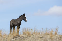 Newborn colt standing on prairie ridge Royalty Free Stock Images