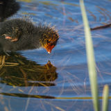 Newborn coot discovering its reflection Royalty Free Stock Image