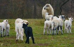 Cute lambs close up stock image