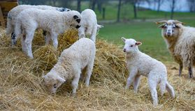 Cute lambs close up stock photography