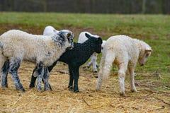 Cute lambs close up stock photo