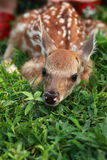 Newborn deer Royalty Free Stock Photo