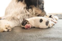 Newborn dog baby is sleeping in front of her mama and her siblings. puppy one day old - jack russell terrier. Suckles her puppies royalty free stock images