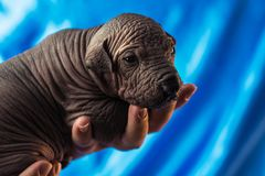 Newborn dog Mexican xoloitzcuintle puppies, one week old, in the hand owner a blue background.  royalty free stock photography