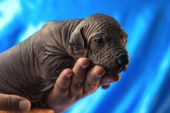 Newborn dog Mexican xoloitzcuintle puppies, one week old, in the hand owner a blue background.  royalty free stock image