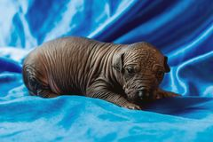 Newborn dog Mexican xoloitzcuintle puppies, one week old, sits on a blue background.  royalty free stock image