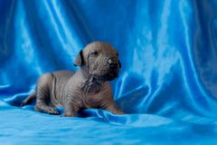 Newborn dog Mexican xoloitzcuintle puppies, one week old, sits on a blue background. A place for writing letters. Postcard royalty free stock photography