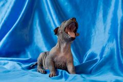 Newborn dog Mexican xoloitzcuintle puppies, one week old, sits on a blue background and yawns. Ready for bed. A place for writing royalty free stock photography