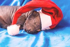 Newborn dog Mexican xoloitzcuintle puppies, one week old, sleeping on a blue headband in a Christmas hat. A place for writing lett. Ers. Postcard royalty free stock photos