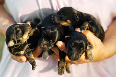 Newborn domestic puppies Stock Image