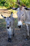 Newborn donkey Royalty Free Stock Image