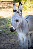 Newborn donkey Royalty Free Stock Photos