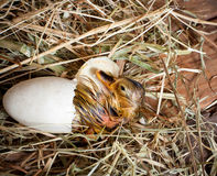 Newborn duckling. Trying to get out of his egg Stock Photo