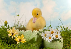 Newborn duckling in the garden. Newborn easter duckling in a daisy garden Royalty Free Stock Image