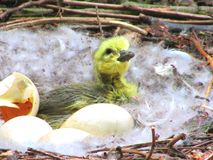 Newborn hatched duckling in its nest Royalty Free Stock Photography