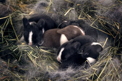 Newborn Dwarf Dutch rabbits   in the nest of dry grass and down. Royalty Free Stock Photography