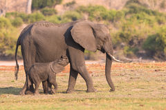 Newborn elephant following mother. In Africa Stock Images